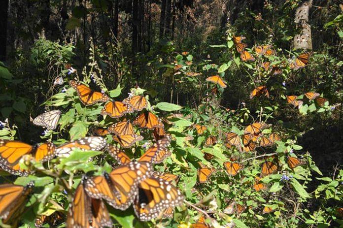 Afectados por plaga, más de 3 mil m2 de la Reserva de la Mariposa Monarca